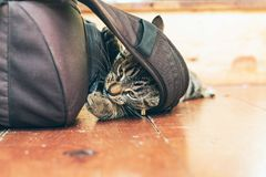 Playful young tabby cat chewing on backpack lying on wooden floo. Playful young tabby cat chewing on backpack lying on a wooden floor in home Stock Photos