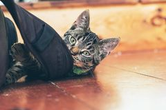 Playful young tabby cat chewing on backpack lying on wooden floo. Playful young tabby cat chewing on backpack lying on a wooden floor in home Royalty Free Stock Images