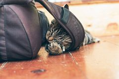 Playful young tabby cat chewing on backpack lying on wooden floo. Playful young tabby cat chewing on backpack lying on a wooden floor in home Royalty Free Stock Image