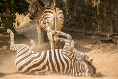 Playful zebra in the dust Stock Image