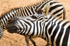 Playful zebra Royalty Free Stock Photo