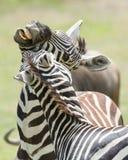 Playful Zebras Stock Photography