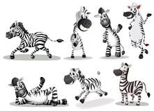 Playful zebras Stock Photography