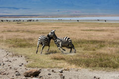 Playful Zebras Royalty Free Stock Images