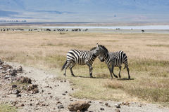 Playful Zebras Royalty Free Stock Photos