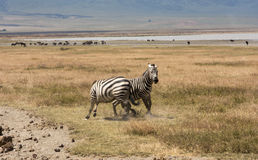 Playful Zebras In Tanzania Stock Photos