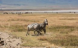 Playful Zebras In Tanzania Stock Photos