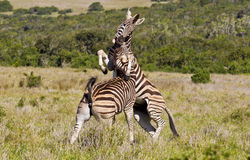 Playful zebras. Young zebras jumping and biting each other while playing in long grass Royalty Free Stock Photos