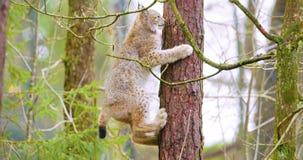 Playfull天猫座上升在一棵树的猫崽在森林里 免版税图库摄影