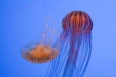 playfull медуз Стоковое Изображение
