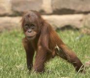 Playfull Baby Orangutan. A young male playfull Orangutan captured enjoying himself in the sun Royalty Free Stock Photos