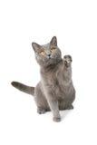 Playfull british cat Stock Image