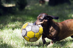 Playfull dachshund Royalty Free Stock Photography