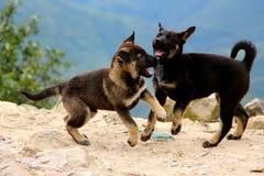 Playfull die puppys spelen Stock Foto