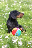 Playfull doggie. Cute doggie on a grass, with a colorful ball Stock Images