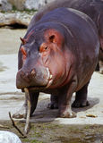 Playfull hippo. Hippopotamus plays with a stick Stock Photos