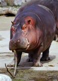 Playfull hippo stock photos