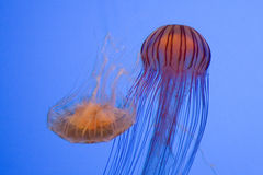 Playfull jellyfish. Close up of two playfull jelllyfish Stock Image
