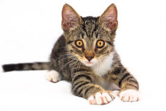 Playfull kattunge Arkivbild