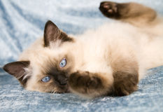 Playfull kitten Stock Photography
