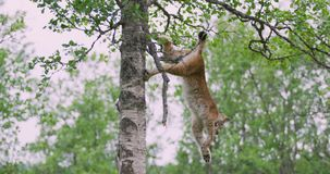 Playfull lynx cat cub climbing down a tree in the forest