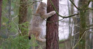 Playfull lynx cat cub climbing in a tree in the forest stock video footage