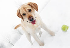 Playfull retriever dog in winter Stock Photography