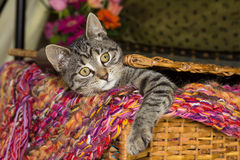 Playfull young cat is looking out of a basket. Playfully young cat is looking out of a basket Royalty Free Stock Photos