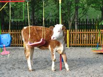 Young cow in a playground Royalty Free Stock Images