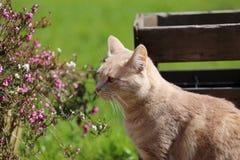 Playin do gato do gengibre no jardim Fotos de Stock