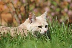 Playin do gato do gengibre no jardim Imagens de Stock