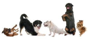 Playind狗在演播室 库存照片