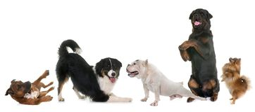 Playind dogs in studio Stock Photos
