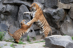 Playing. The mother tiger and her son playing Royalty Free Stock Photo