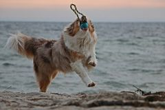 Playing australian shepherd at the beach royalty free stock photography