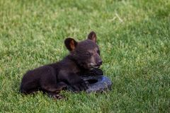 Playing Baby Black Bear. A baby black bear laying in the grass and playing with a tire toy royalty free stock photography