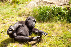 Playing baby gorilla Stock Images