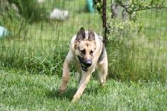 Playing Ball. German Shephard playing ball in yard Stock Image