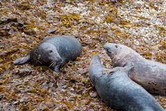 Playing on the beach. A group of Atlantic grey seals (Halichoerus grypus) on a beach in Cornwall England royalty free stock photography