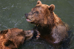 Playing bears Royalty Free Stock Photo