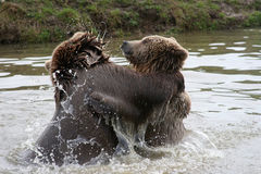 Playing bears Stock Photography