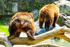 PLaying bears. In the wild Royalty Free Stock Photo