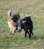 Playing belgian shepherd Royalty Free Stock Image