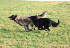 Playing belgian shepherd Stock Photos