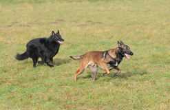 Playing belgian shepherd Royalty Free Stock Photo
