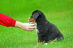 Playing with Bernese mountain Stock Photography