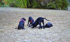 Playing black lab puppies. Cute black lab dog puppies playing in park Royalty Free Stock Photography