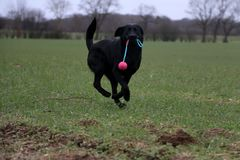 Playing black labrador retriever with a toy royalty free stock photography