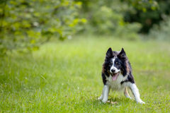 Happy border collie dog on green grass. A black and white border collie dog is standing with his mouth open and enthusiasm in a natural environment Stock Photography