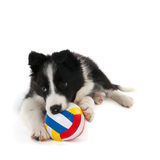 Playing Border Collie puppy Stock Images